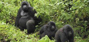 Mountain Gorillas in Uganda