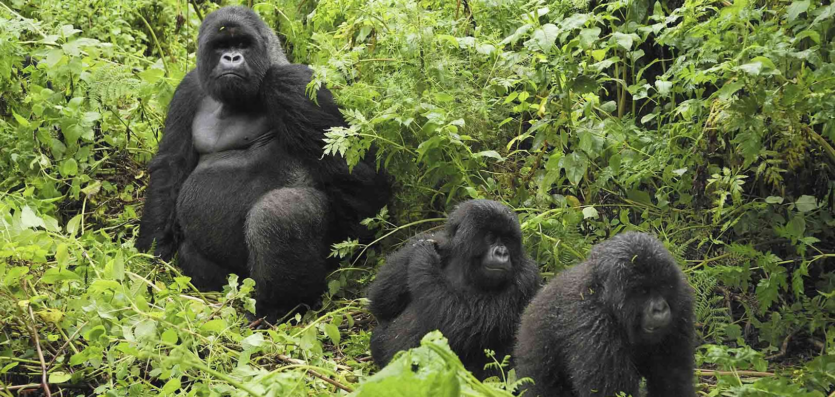 mountain gorillas Mountain gorillas are one of the most endangered animals because of the threats they face that are harmful to their well-being and habitat.