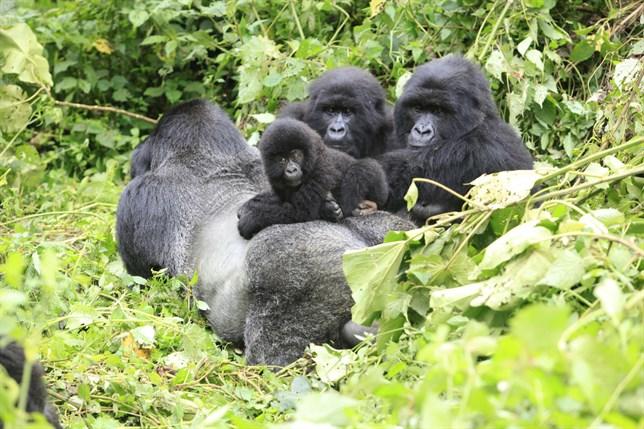 Rwanda Gorilla, Dian Fossey Visit and Golden Monkey Tracking