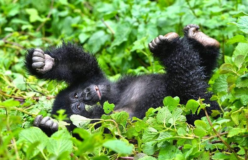 Tanzania Safaris and Gorilla Trekking in Uganda and Congo